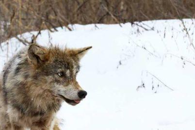 2020121417113216769_vou-k_volk_wolf-1200x0-c-center.jpg